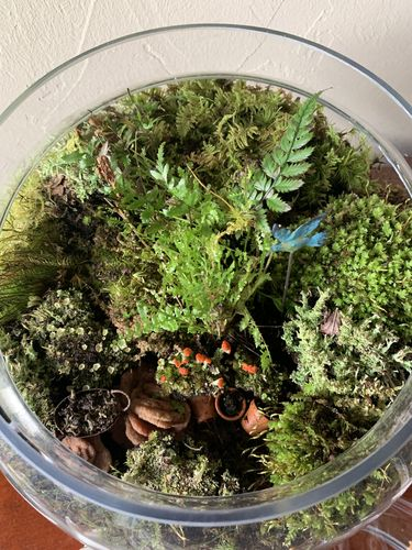 3 Pc Live Lichen Combo British Solder Pixie Cup Pityrea Terrariums Fairy Gardens